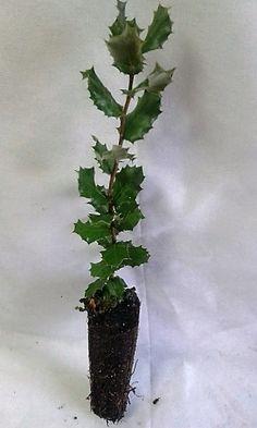 Quercus ilex acebo en cepell n forestal planta forestal for Viveros ourense