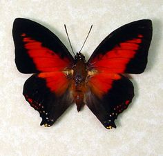 Charaxes zingha real red heart african Butterfly in an Archival ...