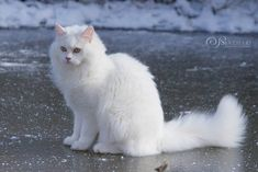 Kittens And Puppies, Cats And Kittens, Beautiful Cats, Animals Beautiful, Warrior Cat Oc, Angora Cats, World Cat, Cat Reference, Long Haired Cats
