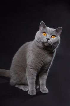 This is a beautiful Blue British Shorthair with the copper tone eyes that distinguish the breed.