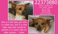 **Fort Worth, TX**CURRENT STATUS: Must be tagged for adoption or rescue by 9am on 04/08/14**   Reason for URGENT STATUS: Heartworm Positive & Repaired Hernia  Animal ID: 22373880 Name: Tinkerbell Breed: Chihuahua Mix Sex: Female - Spayed Age: 10 years Weight: 12lbs FULLY VETTED Heartworm Positive