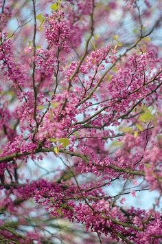"""""""Flowering Plum"""" print by Suzanne Powers, starting at $22.00"""