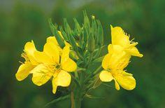달맞이꽃 Flowers, Plants, Plant, Royal Icing Flowers, Flower, Florals, Floral, Planets, Blossoms