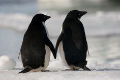 Animals Birds Penguins Stock Photos and Pictures Animals And Pets, Baby Animals, Funny Animals, Cute Animals, Penguin Love, Cute Penguins, Amazing Animal Pictures, Cute Pictures, Beautiful Birds