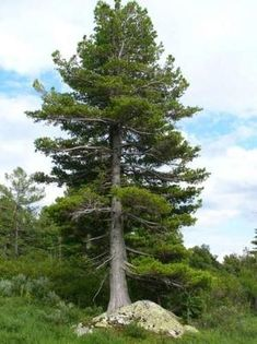 Siberian Cedar or Pine is the king of all the trees of the Russian taiga. This is a powerful and majestic tree, even in fairy tales appearing in the form of an old man, a sage. It is understandable, cedar pines can reach majestic shapes and sizes, and against neighboring spruces and firs seem to be giants with huge paws - powerful branches and crowns. For its size, it is second only to another coniferous relative - the Sequoia.