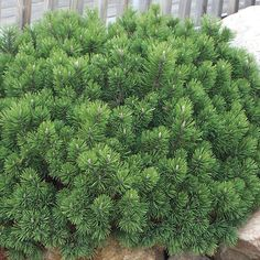 could definitely plant a wave hedge of this both in the front yard and in the big bed    Pine, Mugo, Slowmound