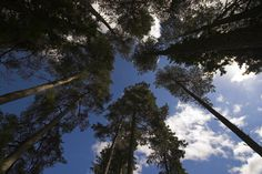 View of the sky through pine trees