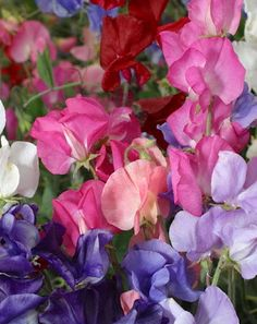Some Sweet Peas to plant in the garden