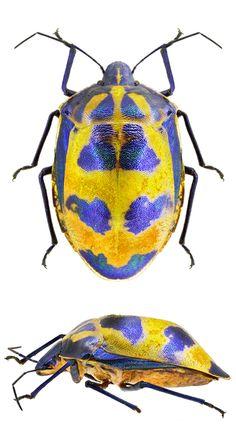Tectocoris diophthalmus