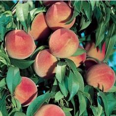 Why Nutrition Is Important Info: 5886874225 Imagem de peach, aesthetic, and fruit Ready for the weekend! vibes for Inspiration Friday! Image uploaded by ♡🅻🅰🅳🅴🅴_ORCHARD♥︎. Find images and videos about nature, indie and aesthetic on We Peach Aesthetic, Aesthetic Food, Full Sun Plants, Peach Trees, Fruit Plants, Just Peachy, Picture Wall, Aesthetic Pictures, Mood