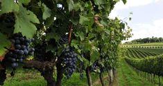 Serra Gaucha, RS, as vinícolas ocupam o imaginário de qualquer viajante - Fotolia / Yahoo