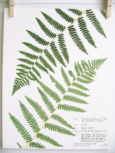 This listing is for a print of my original fern herbarium specimen pressed botanical artwork. It was made from a high-resolution scan and is