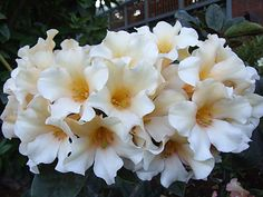 "Rhododendron ""White Giant"""