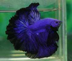 BETTA: Lapus Lazuli Blue with black edging- Half Moon Rosetail - stunning!
