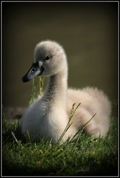 Beautiful cygnet in the U.K. • photo: Rich Cove on Flickr