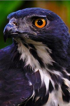 Bat hawk by Ringgo Gomez
