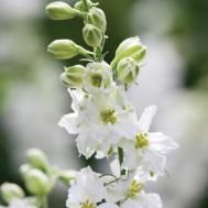 Seeds to sow in August - Consolida 'White'