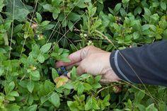Hidden wild blueberries