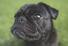 The Importance of Cleaning Your Pug's Wrinkles - The Pug Diary Pug Nose, Nose Cleaner, Cute Pugs, Loose Hairstyles, Mammals, Animal Pictures, Dog Cat, Creatures, Puppies