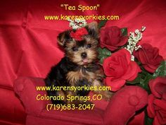 Teacup Yorkie puppy for sale in Colorado Springs,Co.