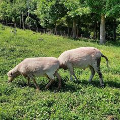 The wool for the Mongolian felt project came from these two sheep.  #sca #scalife #sewing #mongolian #wool #felt #dogwoodhillsguestfarm