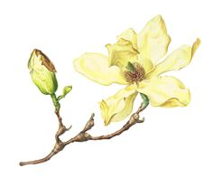 jenny phillips botanical artist   Magnolia , ' Elizabeth ' Jenny Phillips Courtesy of Filoli Botanical Drawings, Botanical Art, Botanical Illustration, Watercolor And Ink, Watercolor Flowers, Painting Flowers, Vintage Images, Vintage Art, Jenny Phillips