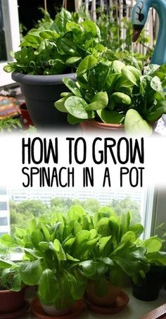 Organic Vegetable Gardening How to Grow Spinach in Pots - Learn how to spinach in pots, it is one of the vegetables that you can grow in some shade and in any kind of space. Growing spinach in… Indoor Vegetable Gardening, Home Vegetable Garden, Organic Gardening Tips, Hydroponic Gardening, Veggie Gardens, Potted Garden, Balcony Garden, Herb Gardening, Flower Gardening