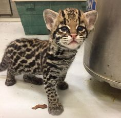 Nico the ocelot at 2 mos - Buffalo Zoo