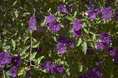Solanum rantonetti