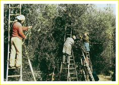 olive harvest, Italy