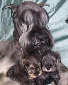 Giant Schnauzer Puppies, I want one, or two!!!