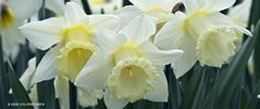 Mount Hood Daffodils - creamy white trumpet daffodils. A nice change from yellow.