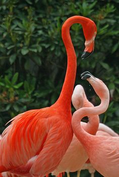 I love flamingos, have since i was a little girl...they are so beautiful and if you watch them with other birds they are fierce and clearly make it known they rule. I love how what they eat is what produces the great color