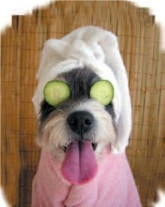 It's a dog's life: A Schnauzer Spa Day Cute Puppies, Cute Dogs, Dogs And Puppies, Doggies, Funny Dogs, Funny Animals, Cute Animals, Schnauzers, I Love Dogs