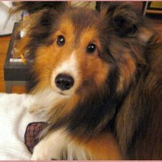 River  (goodtime shelties)