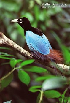 blue+bird+of+paradise+SHRIYA.jpg (882×1300)