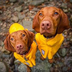 "We do not do ""rain"" let us back inside Mom!  #furbabies #dogdays #vizslagram"