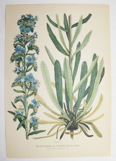 Blue Vipers Bugloss Botanical Print 1923 Vintage Flower Print Spring Gift Idea for the Home Cottage Garden Flower Gift Mothers Day Gift Art by OldMapsandPrints on Etsy