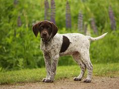 german shorthaired pointer on point - Google Search