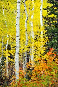 ***Autumn aspens (Alpine Loop Drive, Utah) by Ryan Houston c🍂 Landscape Photos, Landscape Paintings, Landscape Photography, Nature Photography, Travel Photography, Landscapes, Wedding Photography, Flor Magnolia, Alpine Loop
