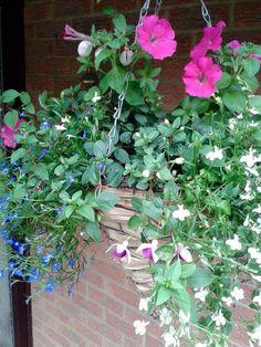 Hanging Basket Entry Number Twenty-two #hangingbasket #garden #gardening #flowers #inspiration #summer