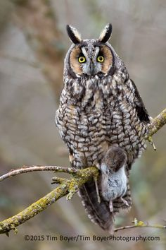 Long eared Owl with dinner by Tim Boyer on 500px
