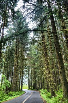 Hoh Rain Forest, Olympic National Park.  Forks, WA.