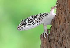 Leopard gecko (Eublepharis macularius) by als