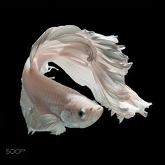 "Betta fish, siamese fighting fish ""half moon"" isolated on black background beautiful movement macro photo Pretty Fish, Beautiful Fish, Goldfish Wallpaper, Animals And Pets, Cute Animals, Betta Fish Types, White Dragon, Fish Print, Exotic Fish"