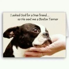 Reminds me of my Miss Daisy. She is the best Boston Terrier.always by my side and is the best friend ever. - My Doggy Is Delightful Boston Terrior, Boston Terrier Love, Boston Terrier Tattoo, I Love Dogs, Puppy Love, Cute Dogs, Terrier Breeds, Terrier Puppies, Bulldog Puppies