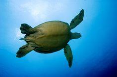 Safaga diving is wonderful. Marine life includes Sea Turtles #Egypt