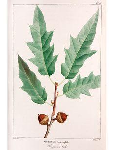One of the illustrations in François-André Michaux's 1810s book Histoire des Arbres Forestiers de l'Amérique Septentrionale is a portrait of the leaves and acorns of Bartram's oak