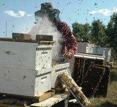 A beekeeper wearing a protective veil inspects hives.  The wooden frames supporting the honeycombs can also be seen.