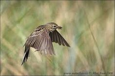 The meadow pipit (Anthus pratensis) is a small passerine bird which breeds in much of the northern half of Europe and also northwestern Asia, from southeastern Greenland and Iceland east to just east of the Ural Mountains in Russia, and south to central France and Romania; there is also an isolated population in the Caucasus Mountains. It is migratory over most of its range, wintering in southern Europe, north Africa and southwestern Asia, but is resident in Ireland, Great Britain, and…
